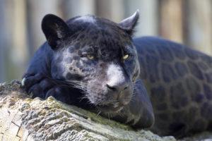portrait, Jaguar Panthera onca, black form