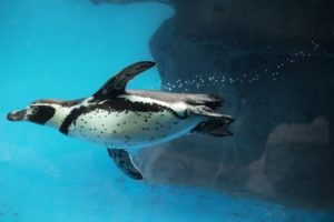 Closeup of Penguin swimming underwater. Humboldt species