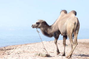 Camel near the sea