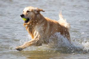 Hund tobt mit Ball im Meer