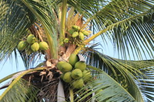 coconut fruit on coconut tree in garden Thailand,This plant of palm and found throughout in seaside tropical.