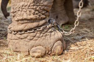 elephant leg