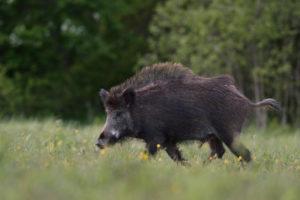 Wild boar walking